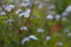 vergeet-mij-nietje#(20210529) flora