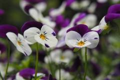 viooltje#(20210529)a flora