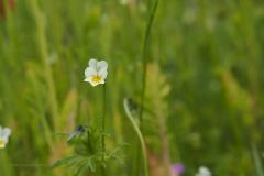 viooltje#(20210529) flora