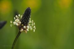 weegbree#(20210529) flora