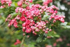 meidoorn#(20210529)b flora