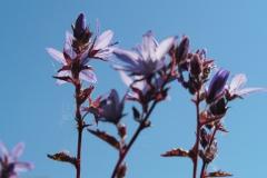 paarse bloempjes#(20210610) flora