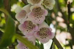 vingerhoedskruid#(20210610) flora