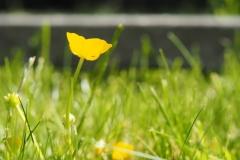boterbloem#(20210610) flora