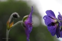 geranium#(20200611)re flora