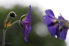 geranium#(20200611)li flora