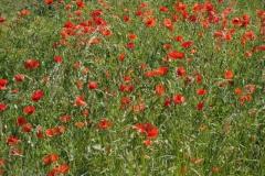klaproos#(20210613) flora