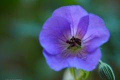 geranium#(20210618) flora
