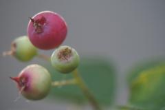 krentenboom#(20210618)  flora
