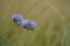 zandblauwtje#(20210623) flora