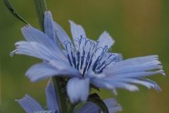 cichorei#(20210623) flora