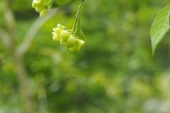 kardinaalsmuts#(20210623) flora