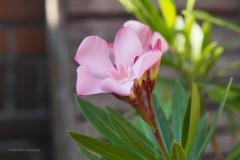 oleander#(20200526)e flora