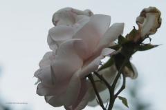 roos#(20200626)a flora