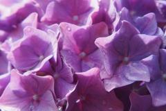 hortensia#(20200630) flora