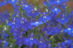 lobelia#(20210701) flora