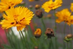 goudsbloem#(20210701) flora