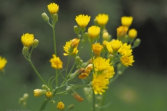 kleinstreepzaad#(20210701) flora