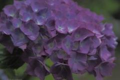 hortensia#(20210707) flora