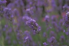 lavendel#(20210701) flora