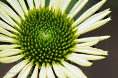 zonnehoed#(20190707) flora