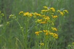 duinkruiskruid#(20210708) flora