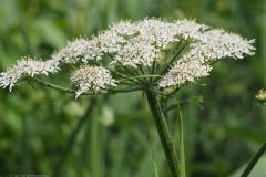 gewone berenklauw#(20210708) flora