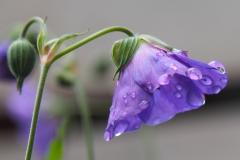 geranium#(20200711)a flora