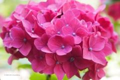 hortensia#(20200712) flora