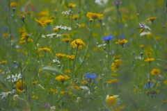 wilde bloemen#(20210713)b flora