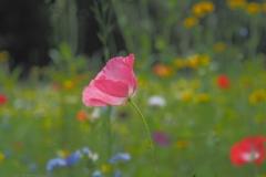 klaproos#(20210713)c flora