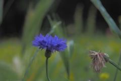 korenbloem#(20210713)a flora
