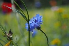 korenbloem#(20210713)b flora