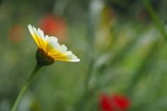 gekroonde ganzenbloem#(20210713)b flora
