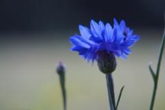 korenbloem#(20210713)c flora