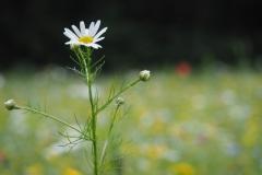 kamille#(20210713) flora