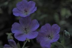 geranium#(20210717)b flora