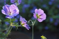 geranium#(20210717)a flora