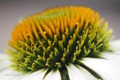 zonnehoed#(20200727) flora