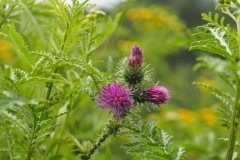 kruldistel#(20200727) flora