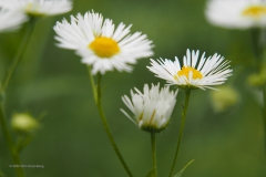 zomerfijnstraal#(20200727) flora