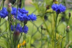 korenbloem#(20200727) flora