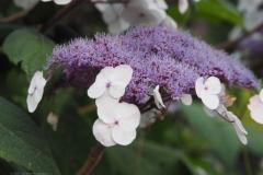 hortensia#(20210729) flora