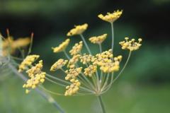 venkel#(20210729) flora