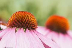 zonnehoed#(20210729) flora