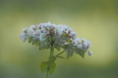 boekweit#(20210729) flora