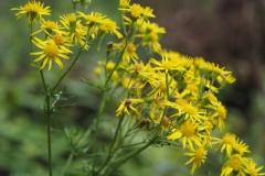 jacobskruiskruid#(20210803) flora