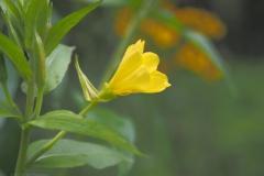 teunisbloem#(20210803) flora