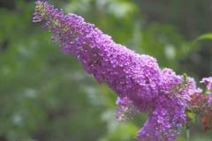 vlinderstruik#(20210803)a flora