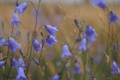 campanula#(20210803)b flora